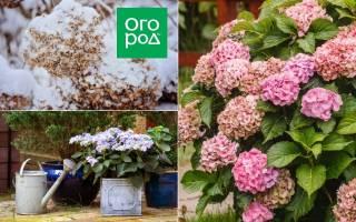 Гортензия – главные принципы выращивания