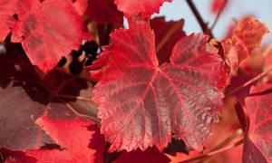 Почему краснеют листья у винограда и что с этим делать?