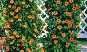 Лучшие цветущие однолетние лианы для сада (25 фото)